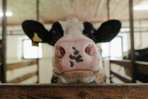 Amoureux des vaches ? Ce pyjama est fait pour vous